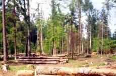 В Лужском районе осужден местный житель за вырубку лесных деревьев