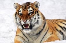 В ивановском зоопарке тигр Ричард отметил новоселье
