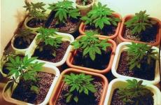 В Джанкойском районе сотрудники полиции и ФСБ с ходе совместной операции ликвидировали домашнюю наркоплантацию