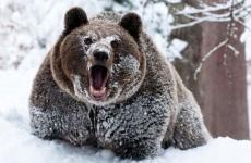 Свадебный сезон открыли медведи в Прибайкалье