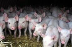 В Сибири зарегистрировали первую вспышку африканской чумы свиней
